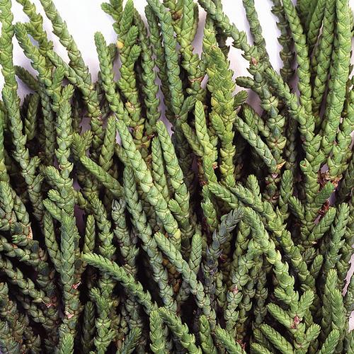 Princess Pine - Crassula muscosa pseudolycopodiodes