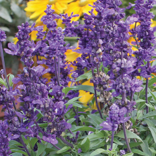 Evolution - Mealycup Sage - Salvia farinacea