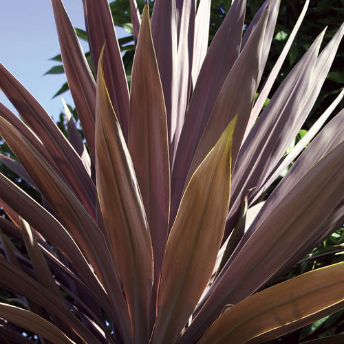 Red Star - False Dracaena - Cordyline species