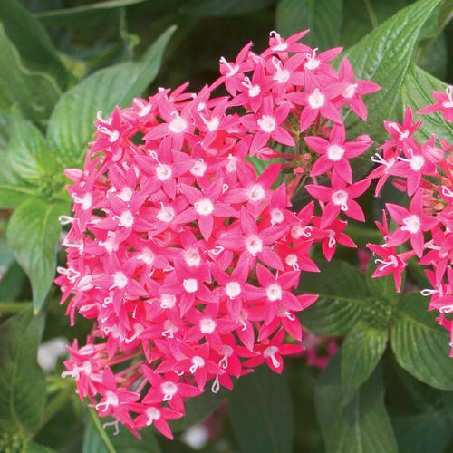 Butterfly Deep Rose - Pentas