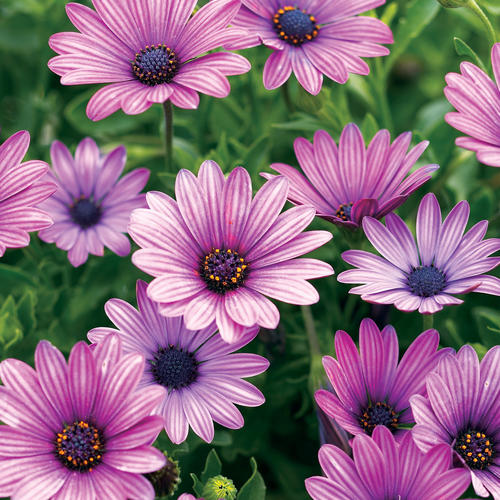 Purple Daisy Flower: Soprano® Purple - Osteospermum Hybrid