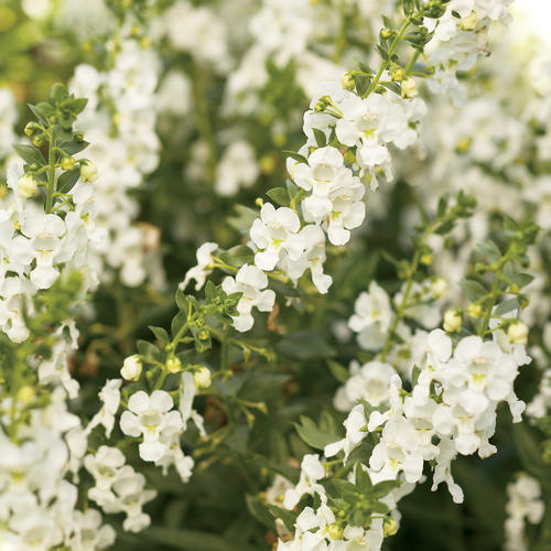 Angelface white summer snapdragon angelonia angustifolia hybrid angelface white summer snapdragon angelonia angustifolia hybrid mightylinksfo