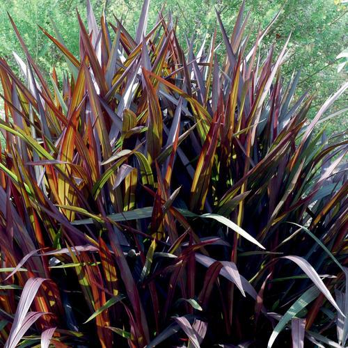 'Princess' - Purple Fountain Grass - Pennisetum purpureum