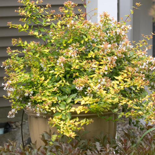 Bronze Anniversary® - Abelia grandiflora