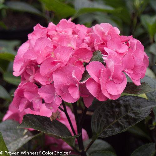 Abracadabra® Orb - Bigleaf Hydrangea - Hydrangea macrophylla