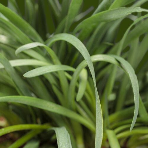 AlliYUM!™ - Garlic Chives - Allium hybrid