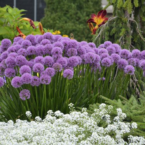 Millenium - Ornamental Onion - Allium hybrid