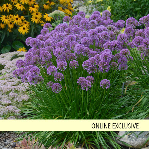 'Millenium' - Ornamental Onion - Allium hybrid