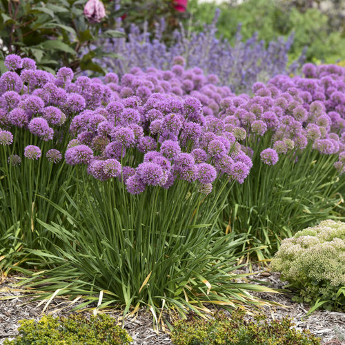 'Serendipity' - Ornamental Onion - Allium hybrid