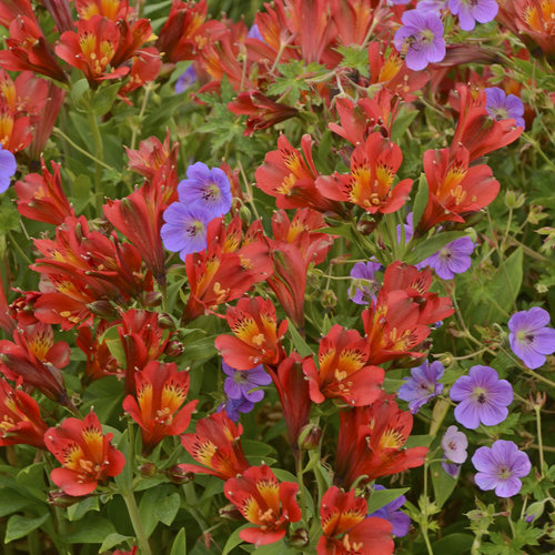 Inca Joli™ - Peruvian Lily - Alstroemeria hybrid
