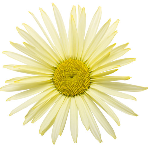 amazing_daisies_banana_cream_01.jpg