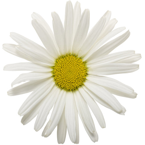 amazing_daisies_daisy_may_01.jpg
