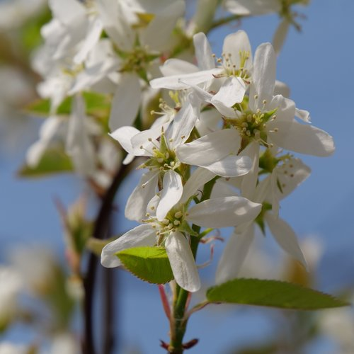 amelanchier-spring-glory-3.jpg