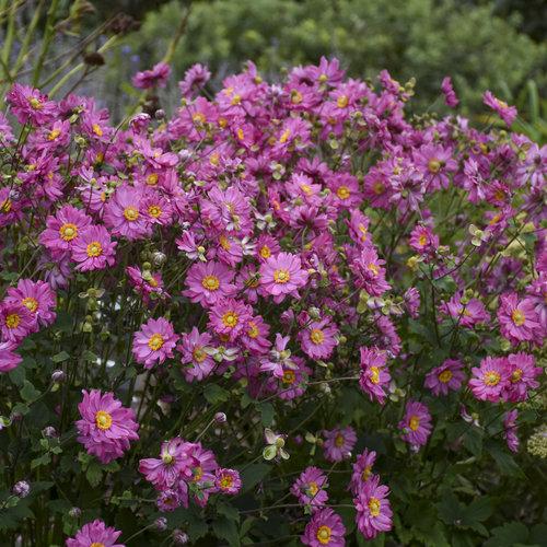 Fall in Love™ 'Sweetly' - Japanese Anemone - Anemone hybrid