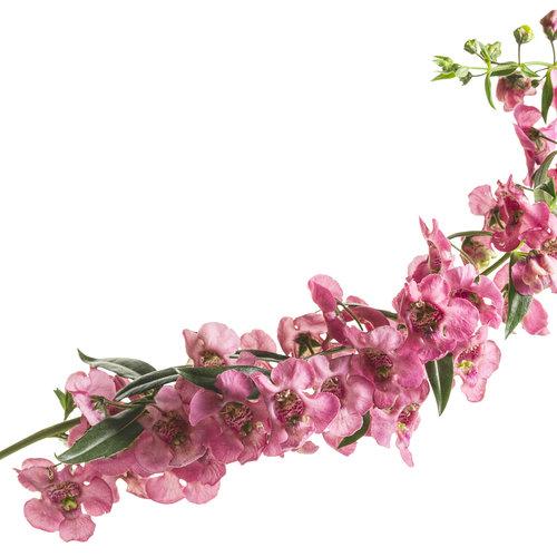 angelonia_angelface_cascade_pink_01.jpg