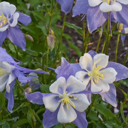 aquilegia_blue_bird.jpg
