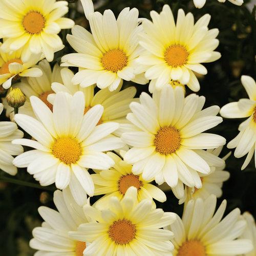 Vanilla Butterfly® - Marguerite Daisy - Argyranthemum frutescens