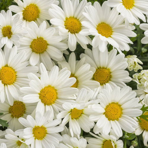 argyranthemum_pure_white_butterfly.jpg