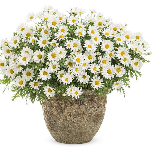 argyranthemum_pure_white_butterfly_mono.jpg