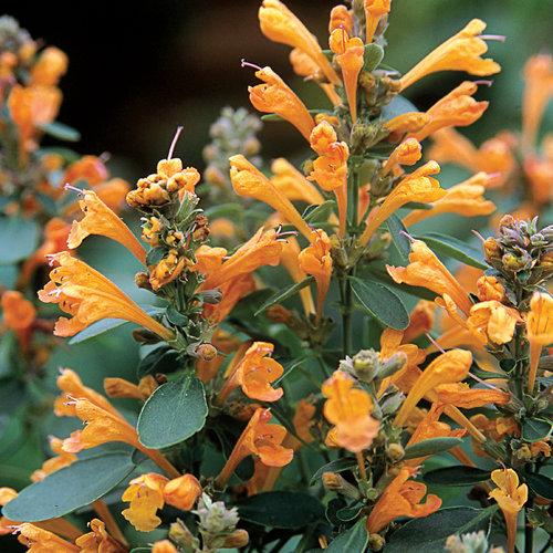 Arizona Sandstone - Hyssop - Agastache hybrid