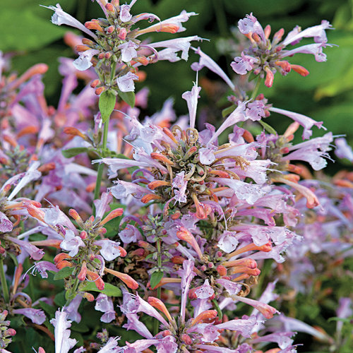 Arizona Sunset - Hyssop - Agastache hybrid