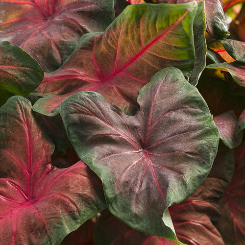 Artful® Heartfire® - Angel Wings - Caladium hortulanum