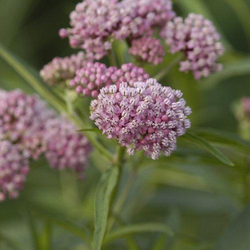 Cinderella - Swamp Milkweed - Asclepias incarnata
