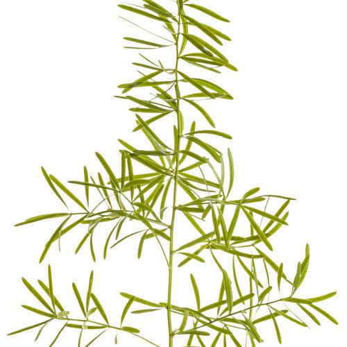 asparagus_fern_macro_01.jpg