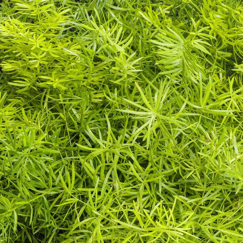 asparagus_fern_variety.jpg