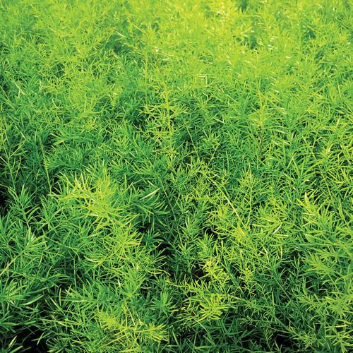Asparagus Fern - Asparagus densiflorous 'sprengeri'