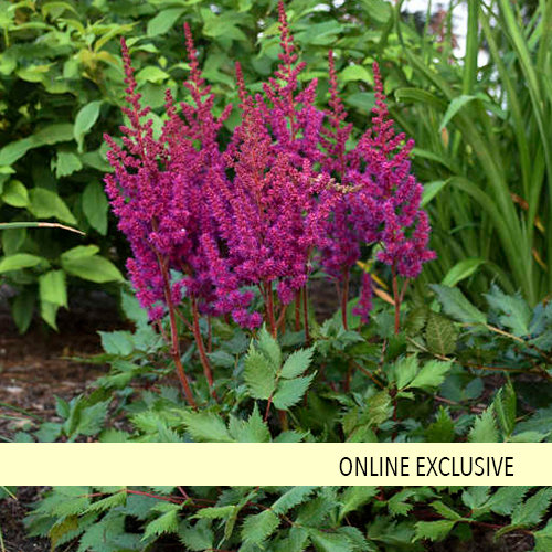 'Vision in Red' - Chinese Astilbe - Astilbe chinensis
