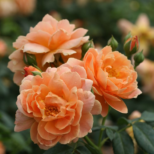 At Last® - Rose - Rosa x