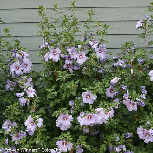 azurri_satin_hibiscus-3001.jpg