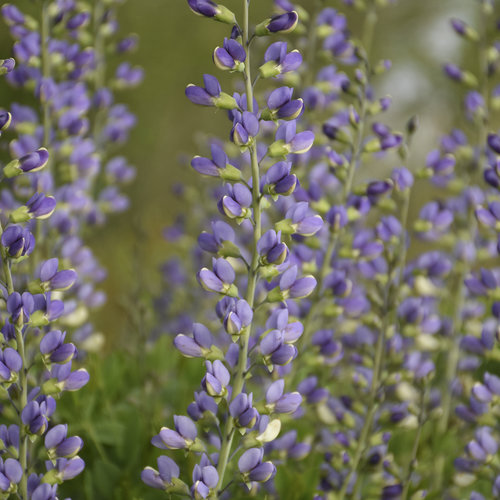 Decadence® Deluxe 'Blue Bubbly' - False Indigo - Baptisia hybrid