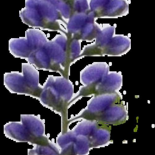 baptisia_blueberry_sundae_flower.png