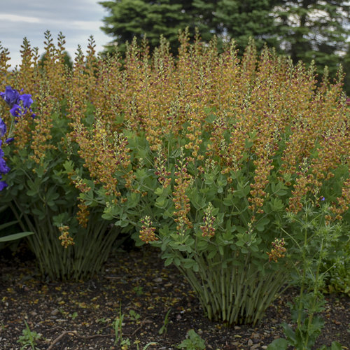Decadence® 'Cherries Jubilee' - False Indigo - Baptisia hybrid
