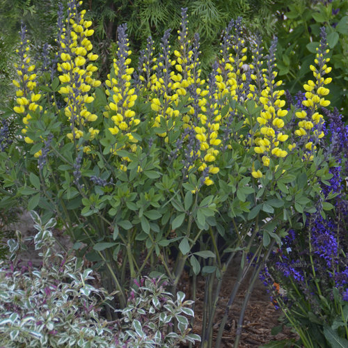 Decadence® 'Lemon Meringue' - False Indigo - Baptisia hybrid