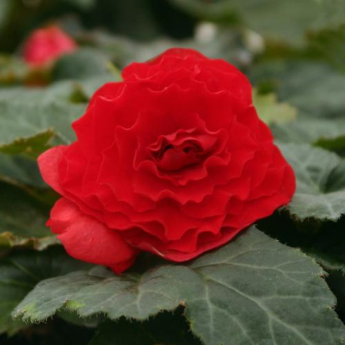 Nonstop® Deep Red - Tuberous Begonia - Begonia x tuberhybrida