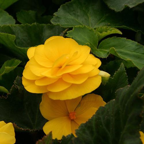 Nonstop® Mocca Yellow - Tuberous Begonia - Begonia x tuberhybrida