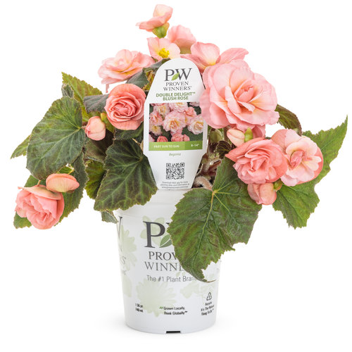 begonia_double_delight_blush_rose_grande.jpg