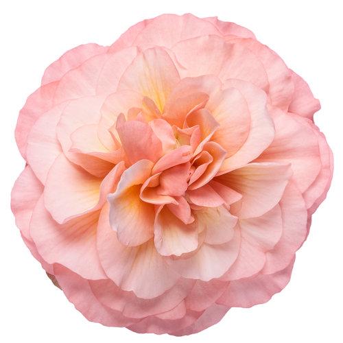begonia_double_delight_blush_rose_macro_01.jpg