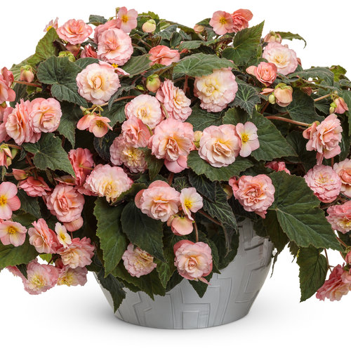 begonia_double_delight_blush_rose_mono.jpg