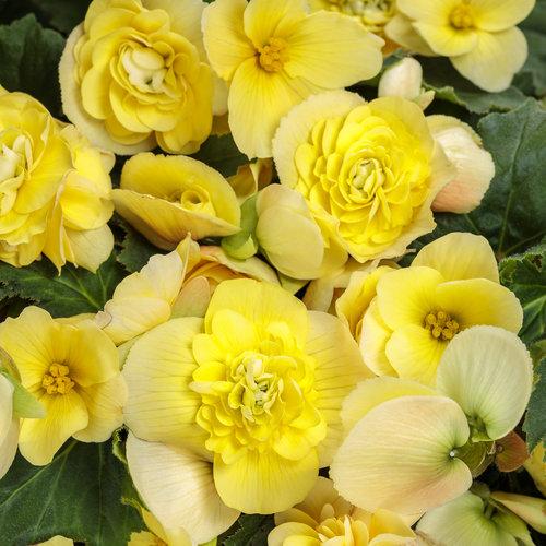 Double Delight® Primrose - Begonia tuberhybrida