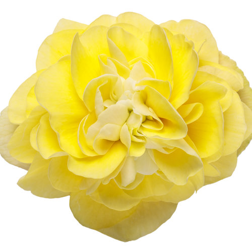begonia_double_delight_primrose_macro_01.jpg