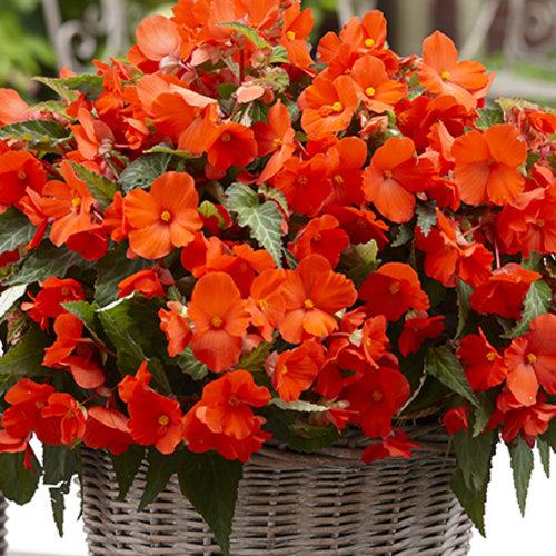 Florencio Orange Begonia Boliviensis Proven Winners