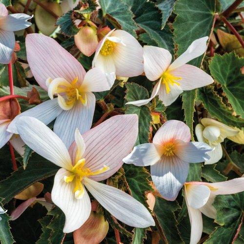 Funky® White - Begonia x hybrida