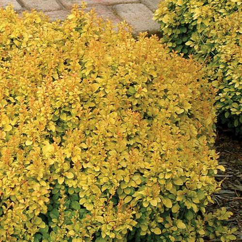 Sunjoy® Gold Beret - Barberry - Berberis thunbergii