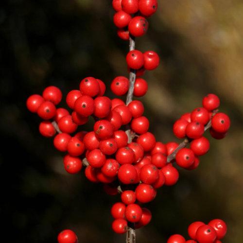 Berry Nice® - Winterberry Holly - Ilex verticillata