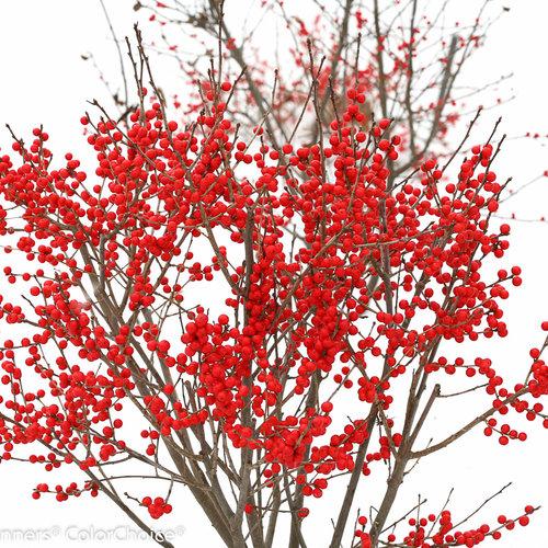 berry_poppins_ilex_verticillata-1-5.jpg