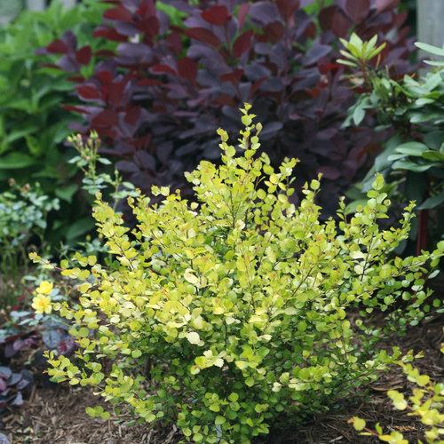 Cesky Gold® - Dwarf Birch - Betula x plettkei